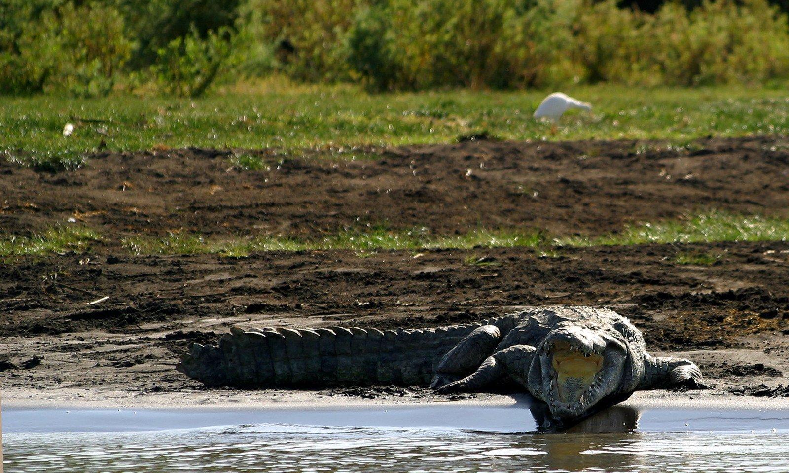 rainforest food chains crocodile