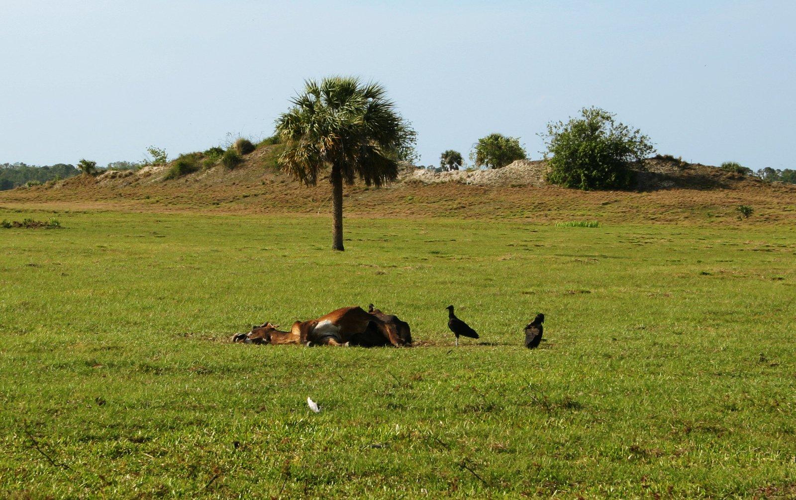 amazon vultures