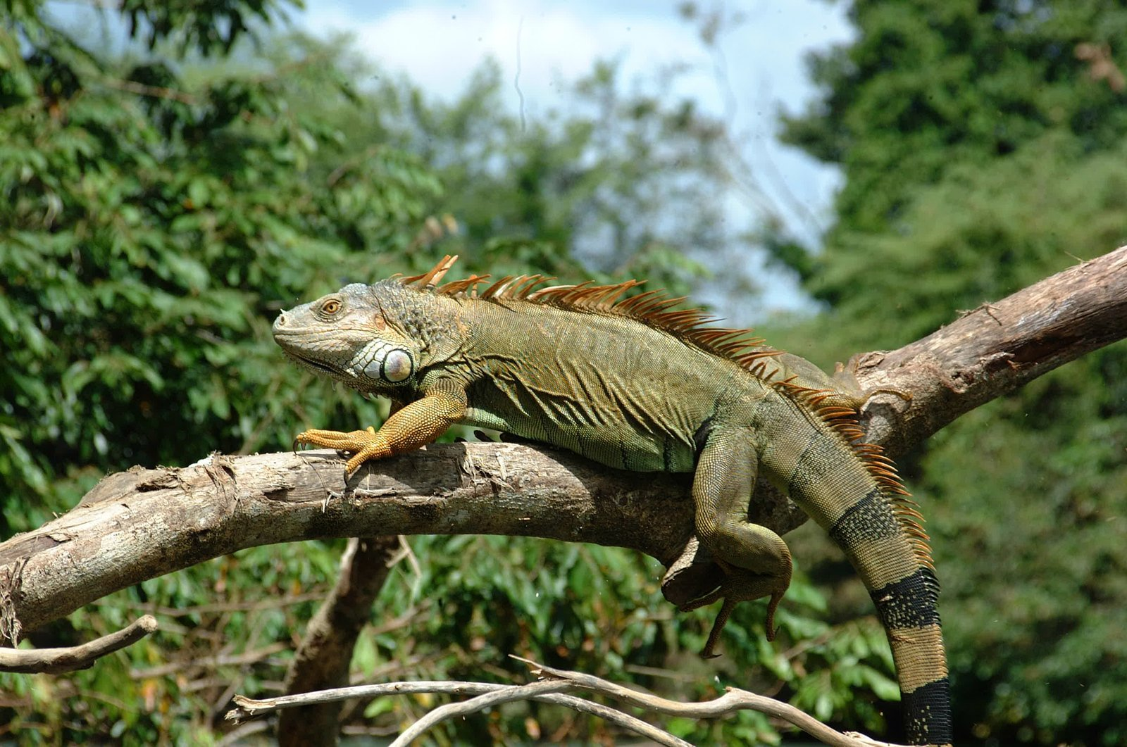 rainforest iguana