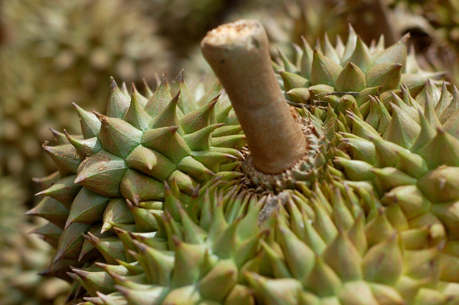 endangered durian