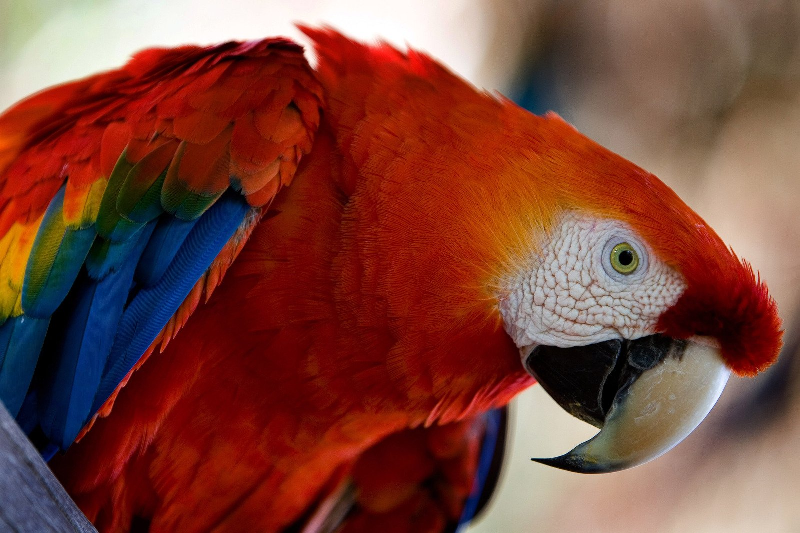 macaw red