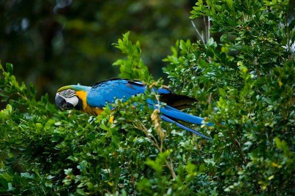 macaw yellow