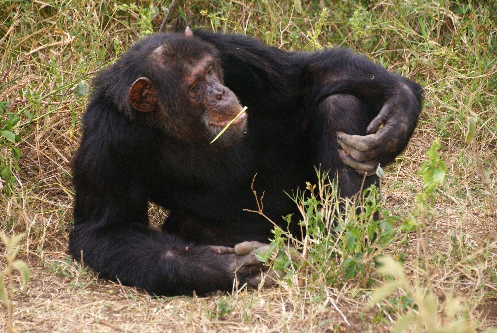 endangered chimpanzee