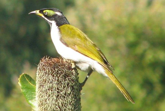 honey eater bird