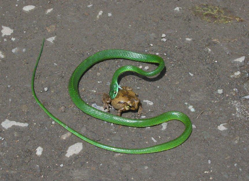 rainforest food chains snake
