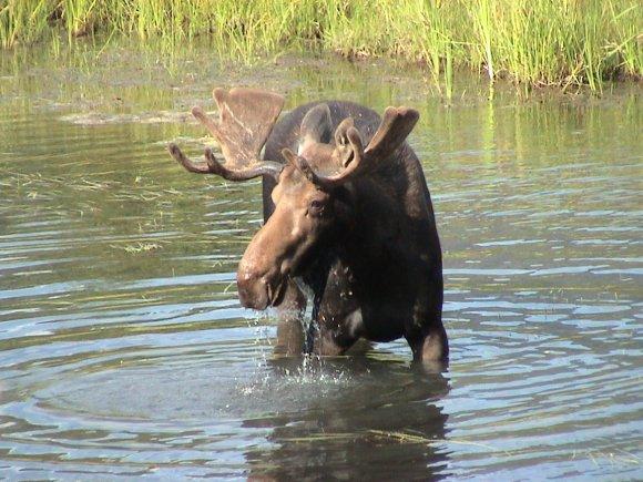 moose elk