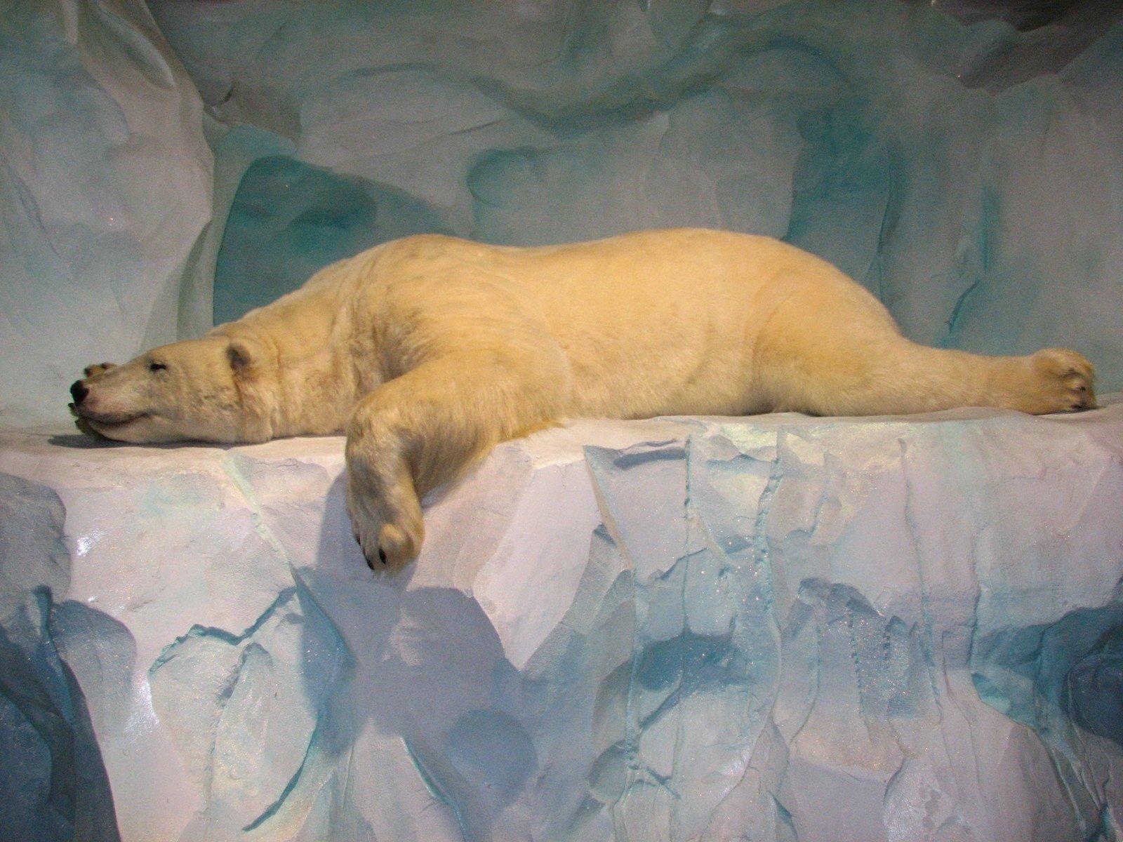 polar bear and climate change evidence