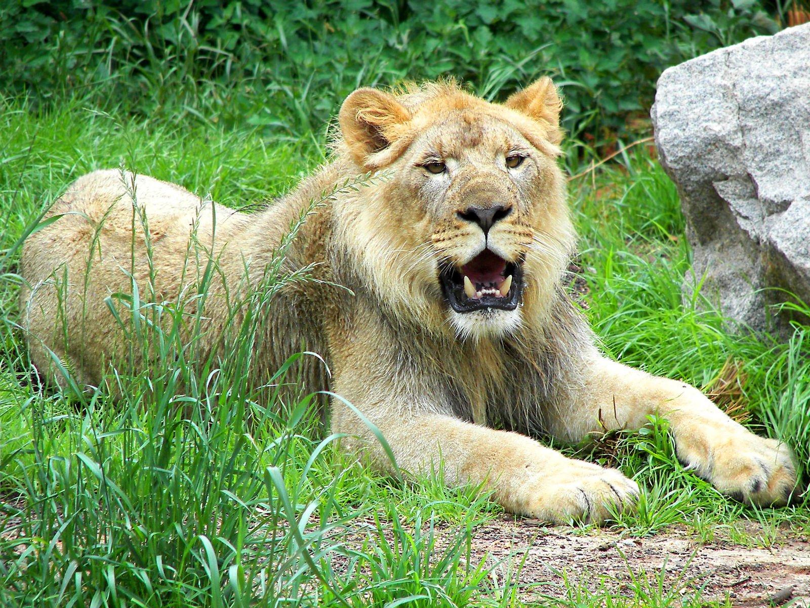 wild animals in africa lion