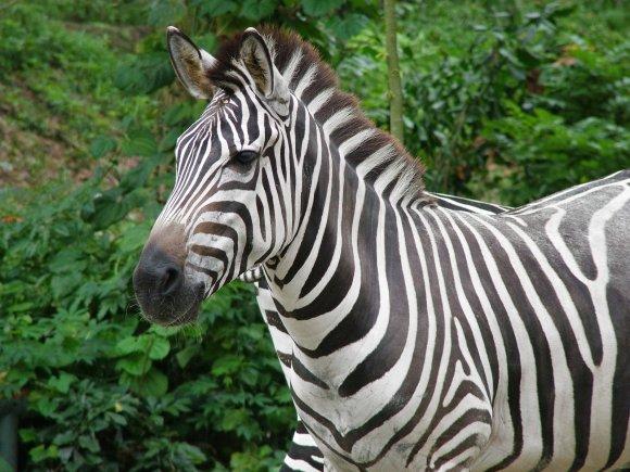 wild animals in africa zebra