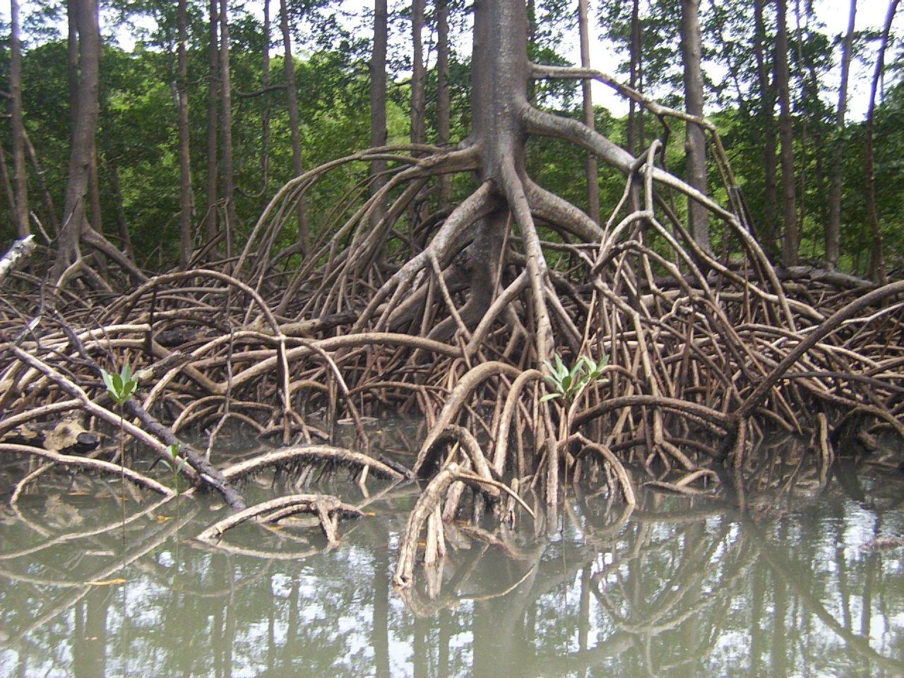 amazon mangrove