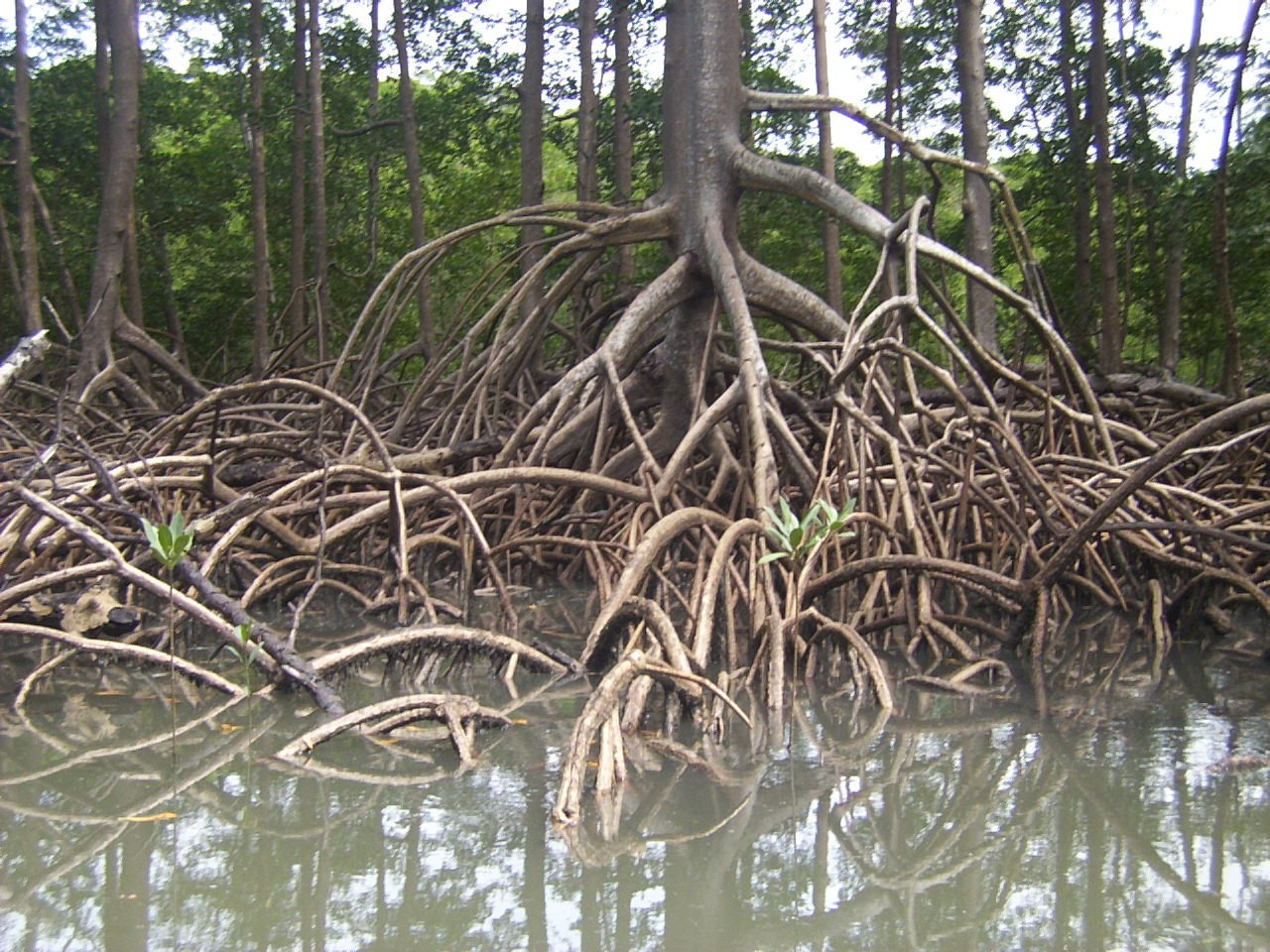 amazon mangroves