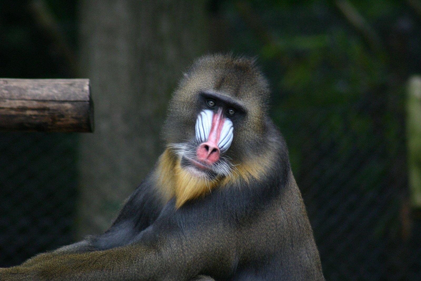 monkey tonky
