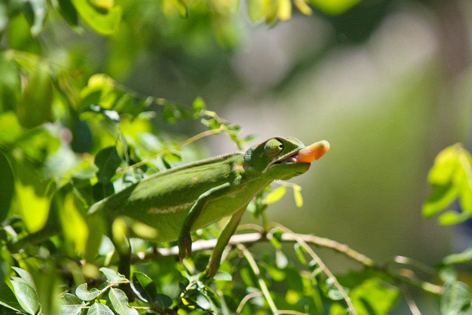Chameleon Habitat