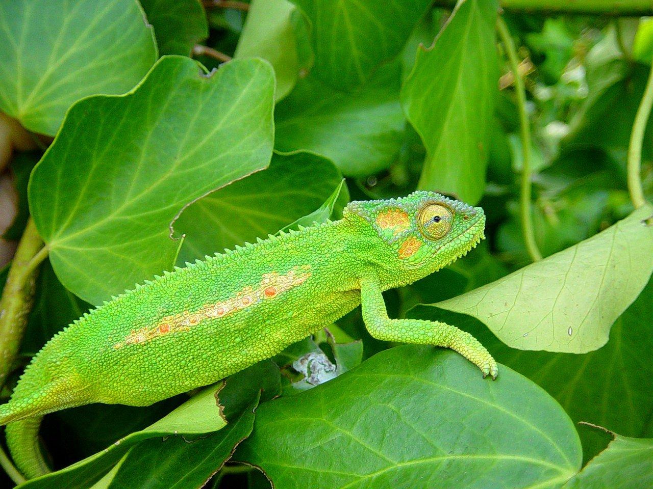 chameleon information