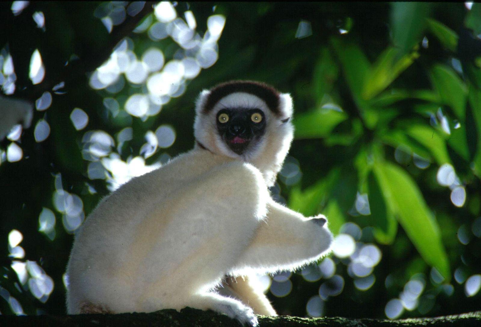 dwarf lemur madagascar