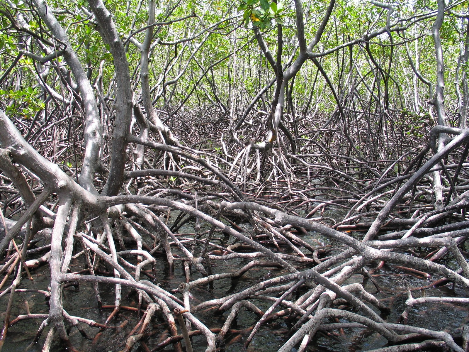 endangered mangrove
