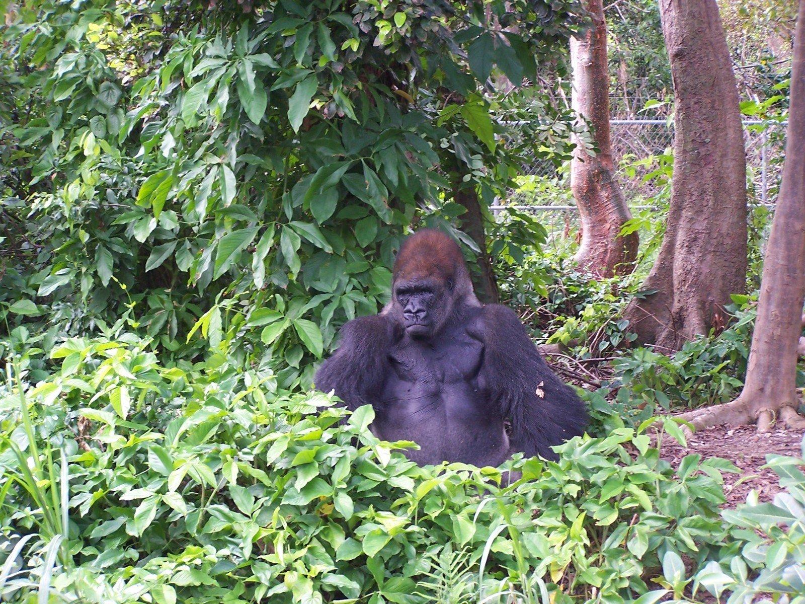 endangered rainforest gorilla