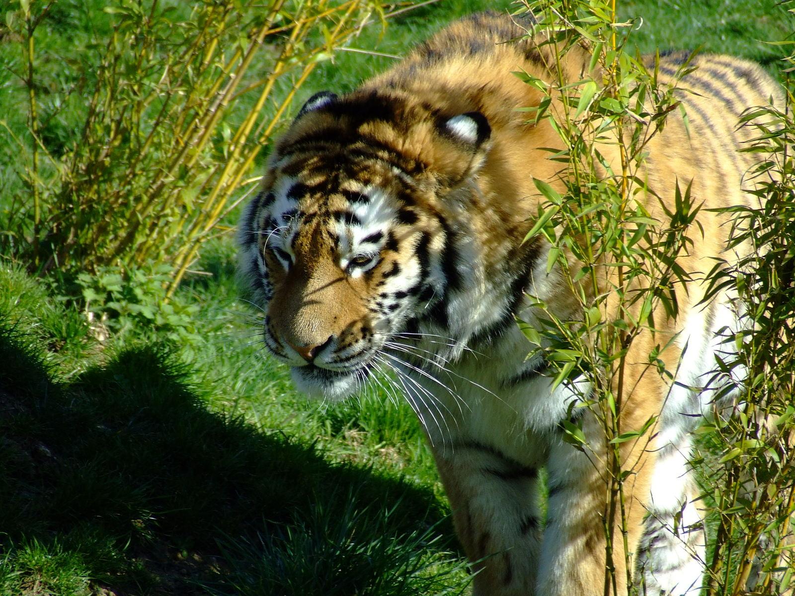 endangered rainforest tiger
