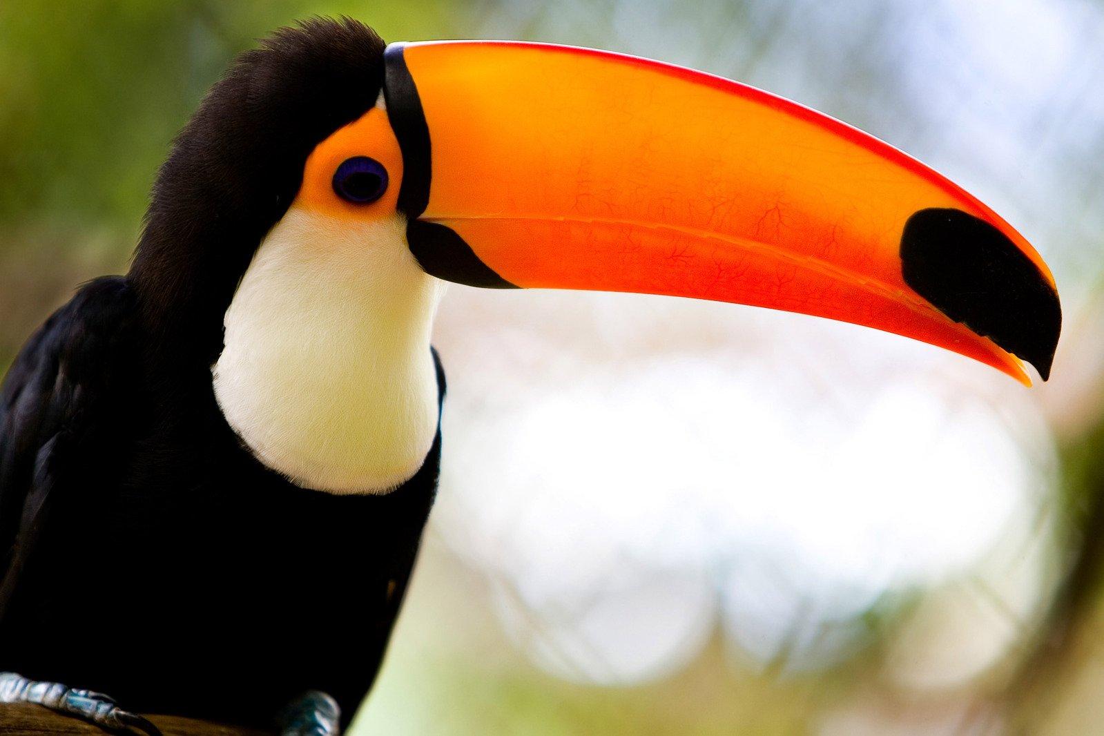 endangered toucan