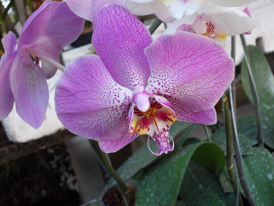 endemic orchid