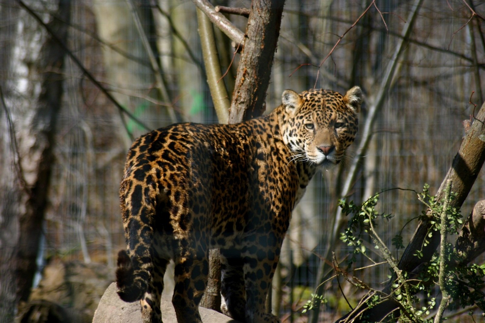 jaguar animal