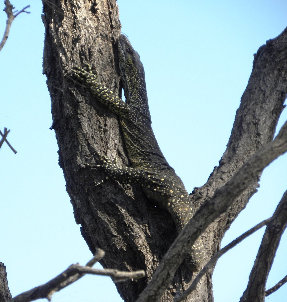 lace monitor goanna lizard