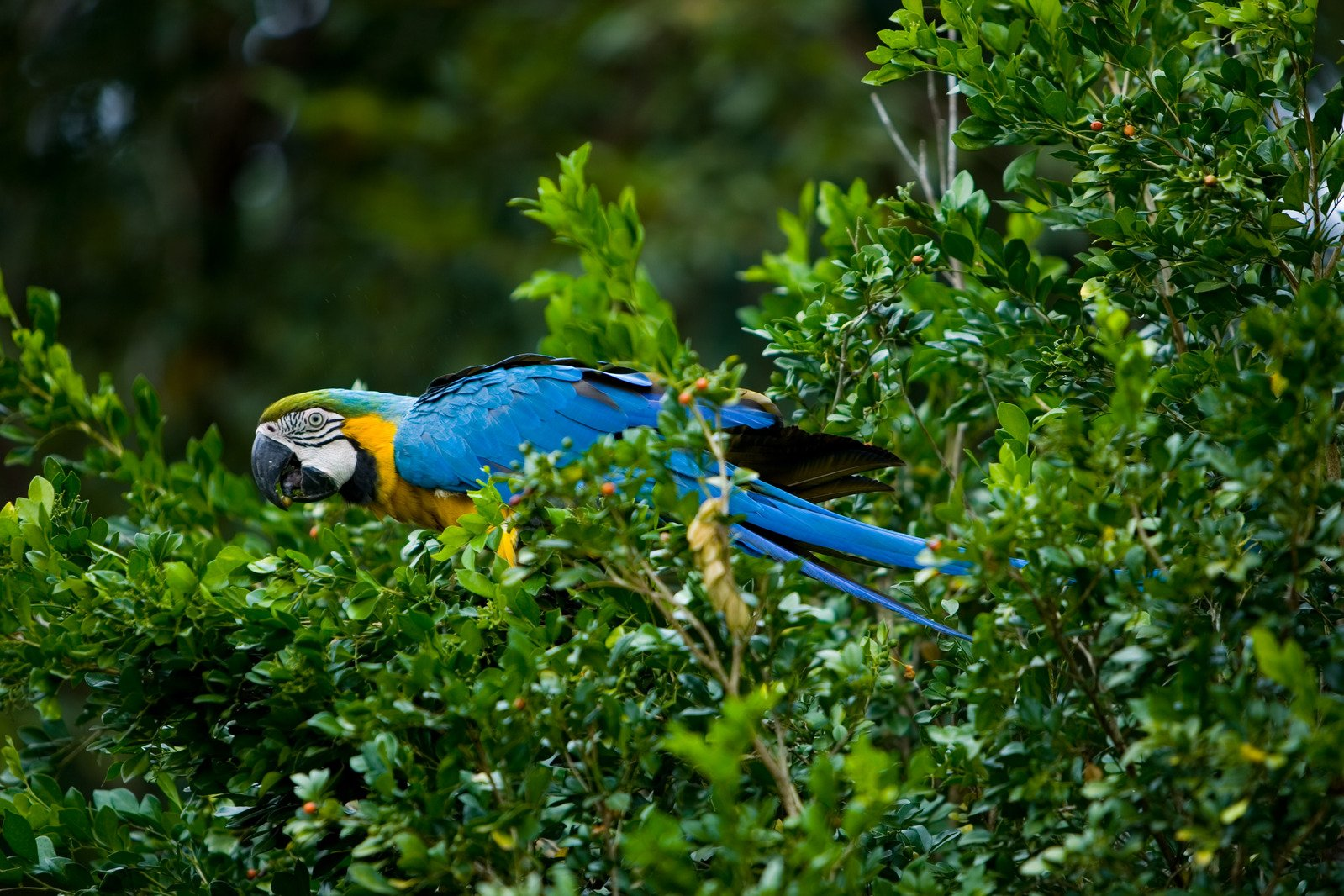 macaw yellow