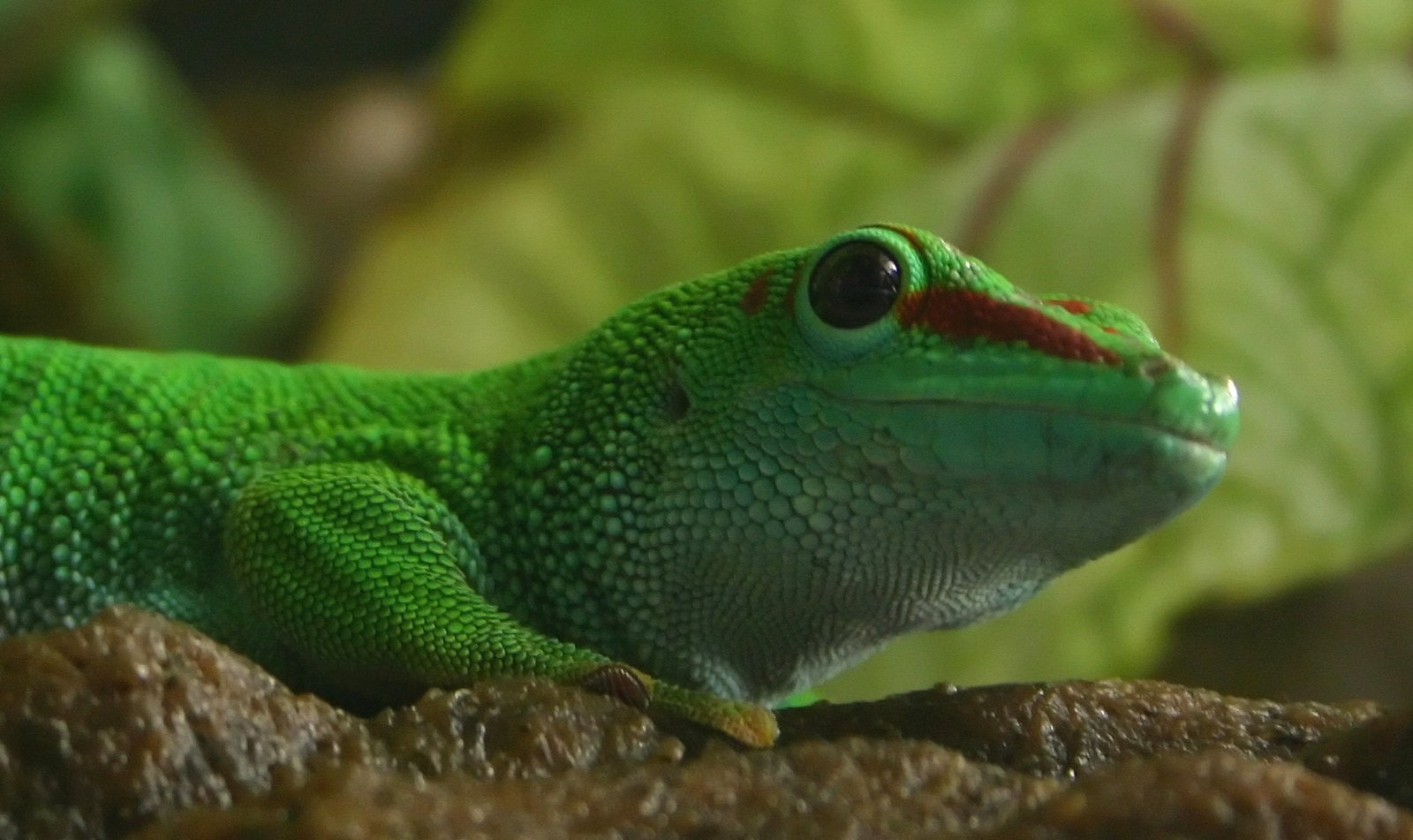 madagascar giant day gecko