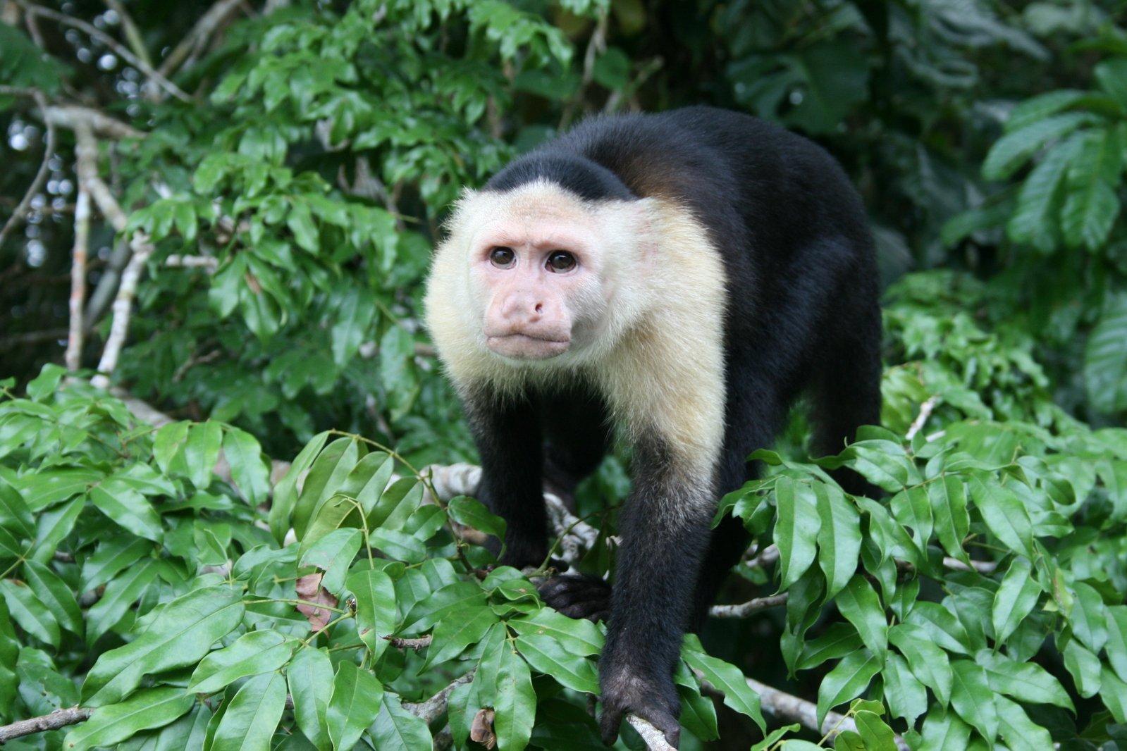 monkey panama rainforest