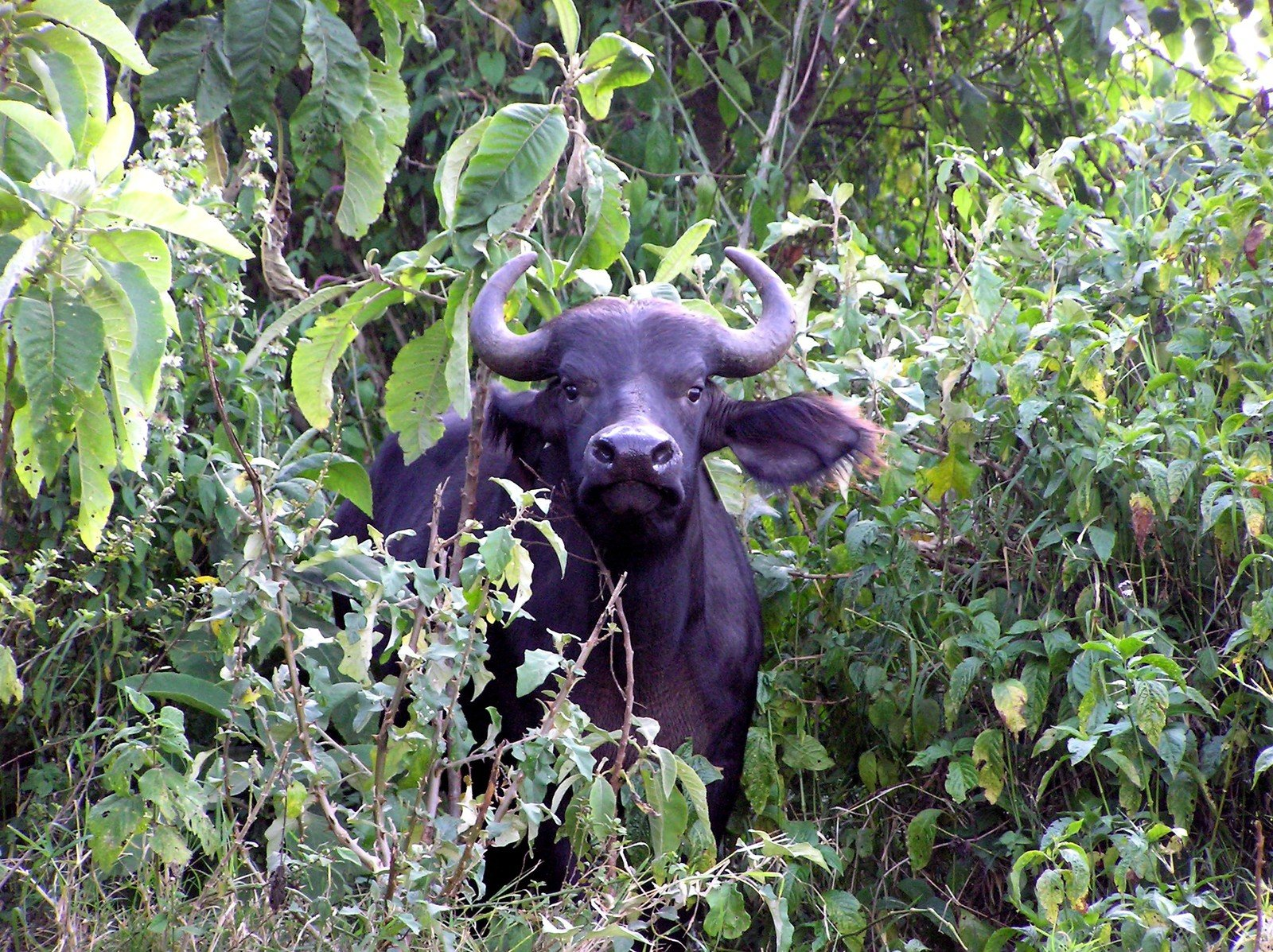 pictures of africa buffalo