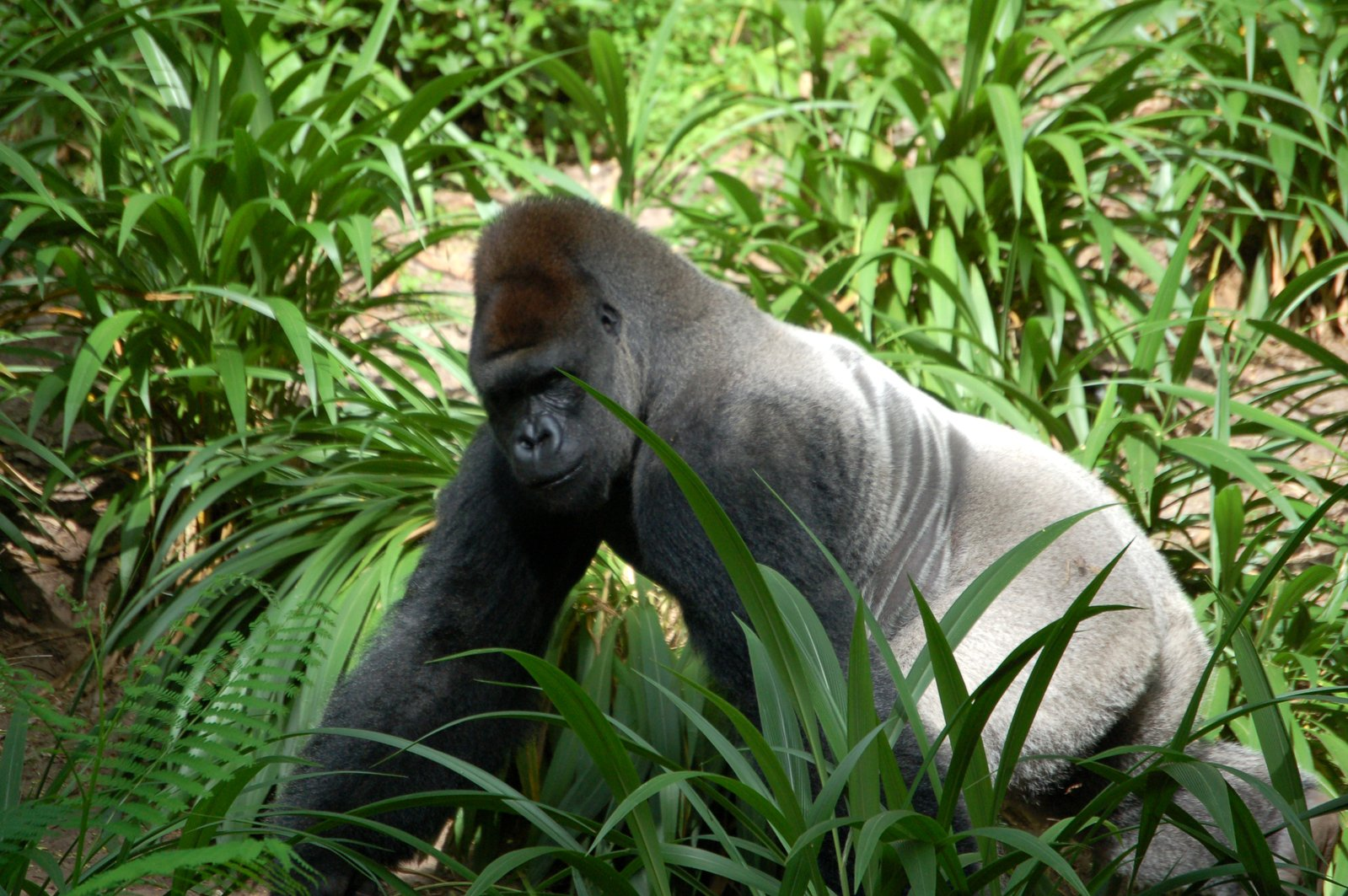 pictures of africa gorilla