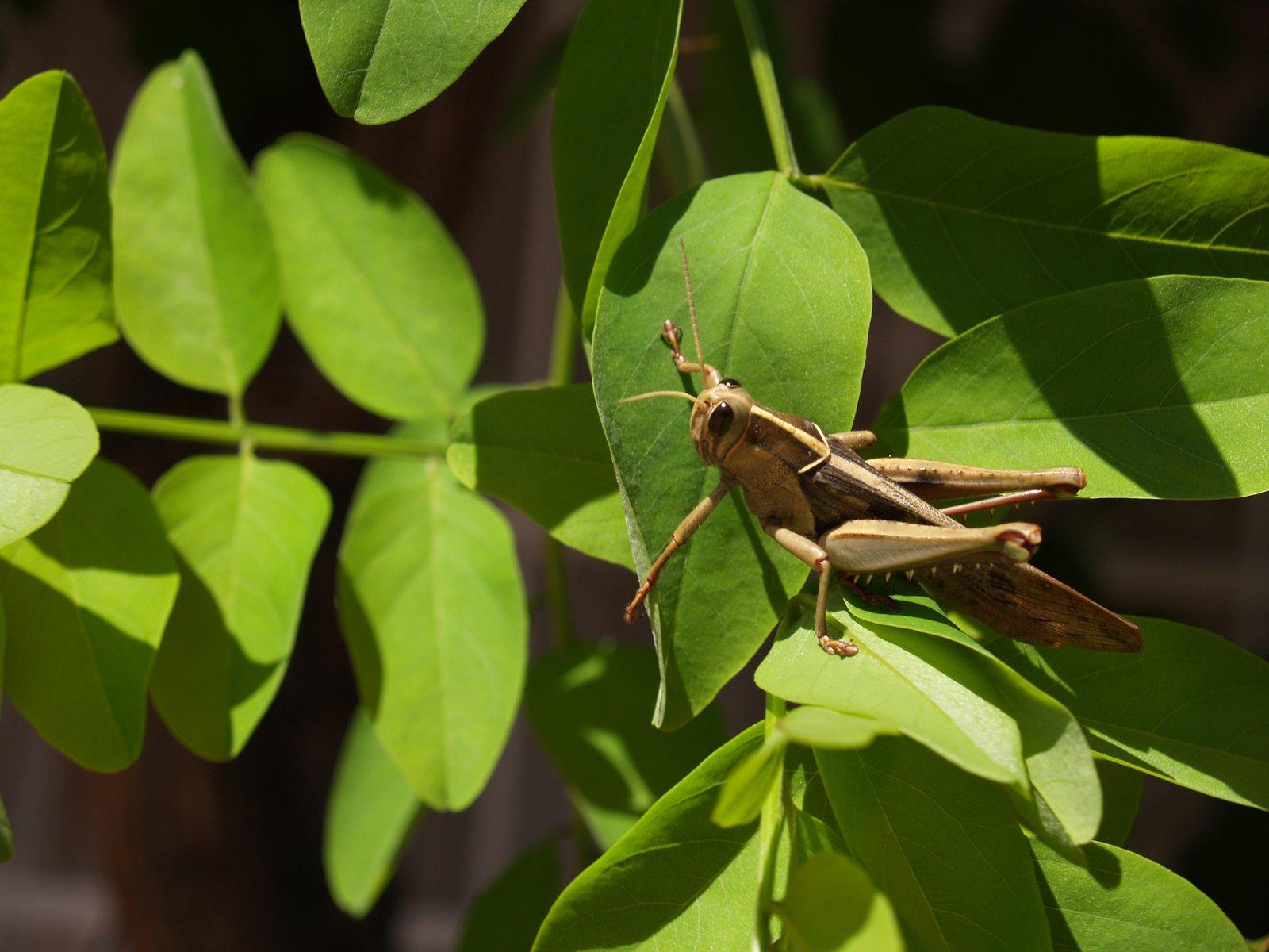pictures of africa locust
