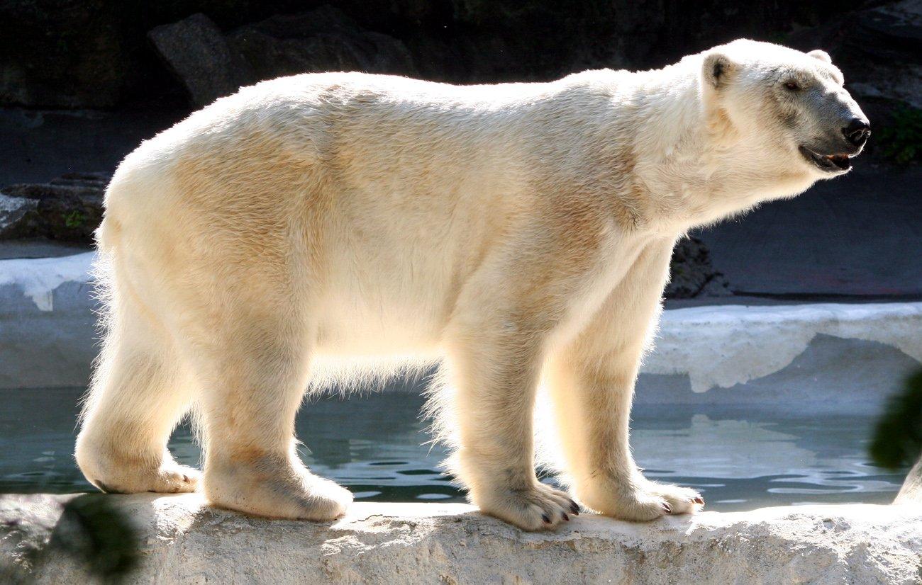 polar bear and climate change