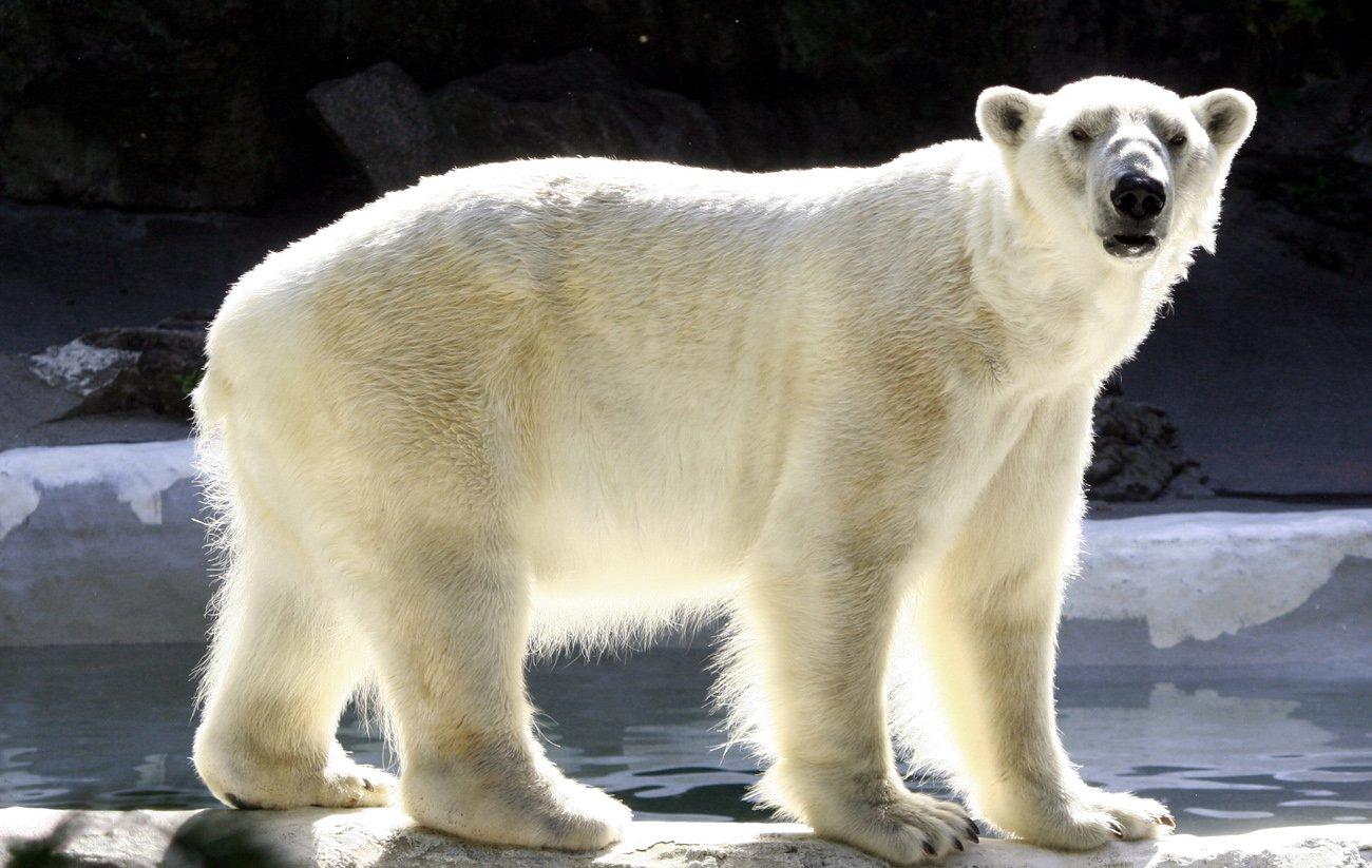 polar bear and global warming