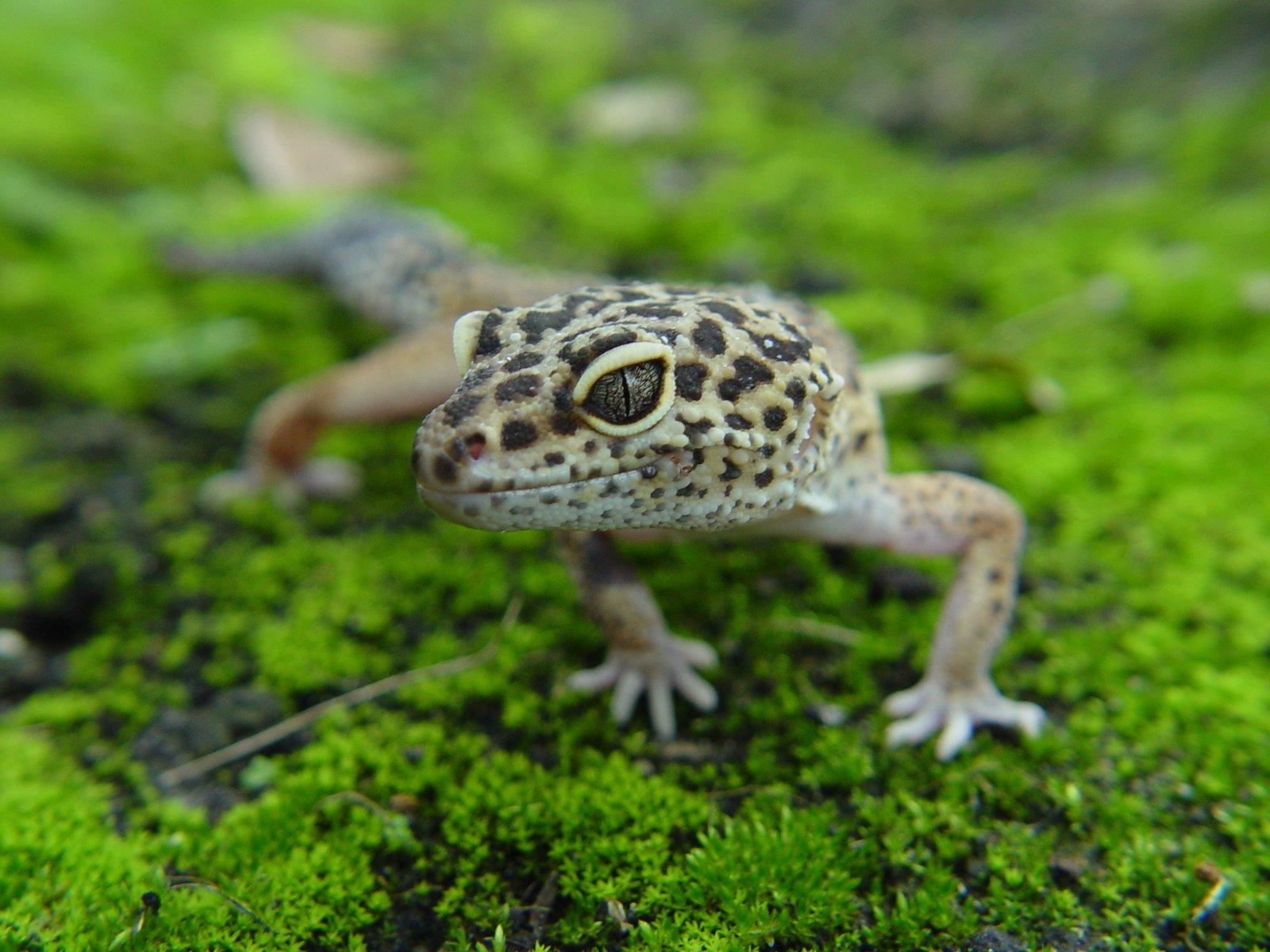 rainforest gecko