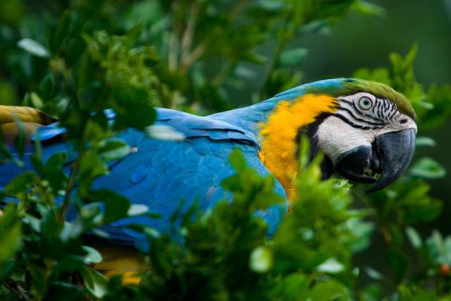 rainforest macaw