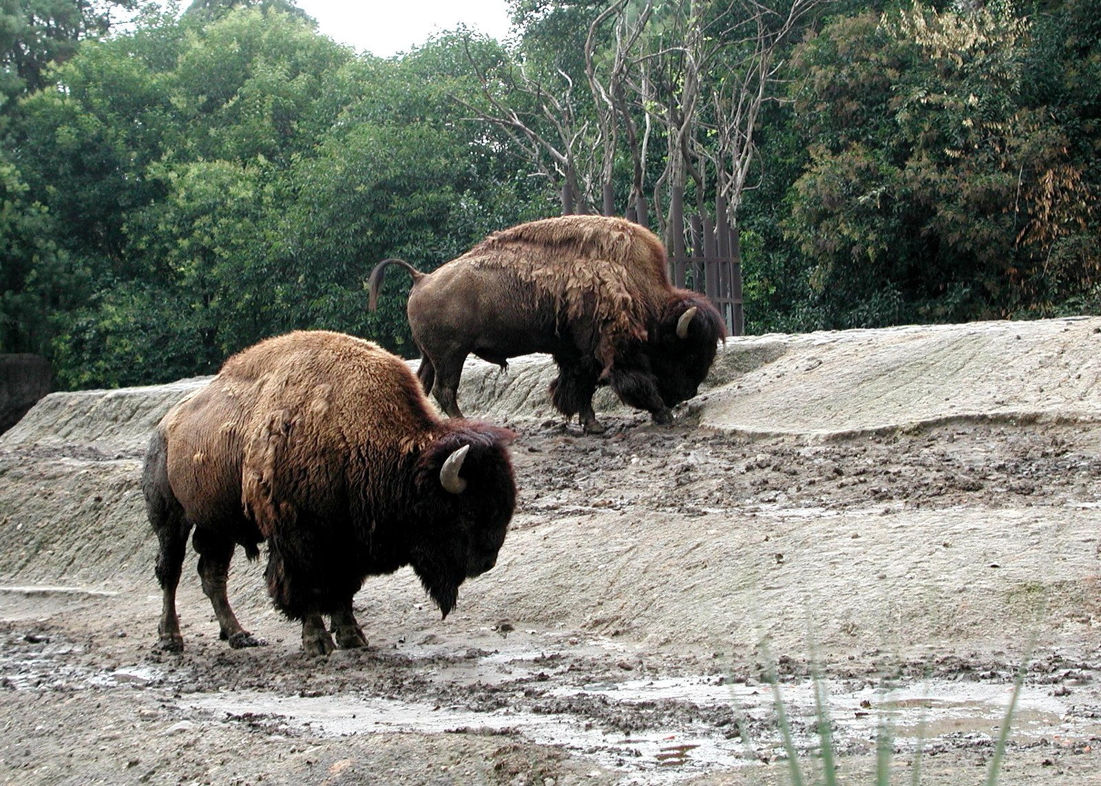 temperate rainforest food chain buffalo