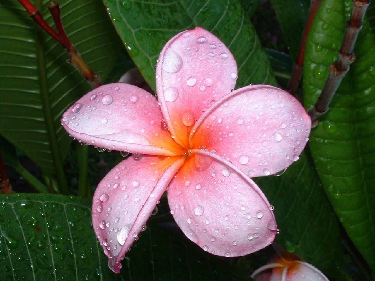 plumeria frangipani flower