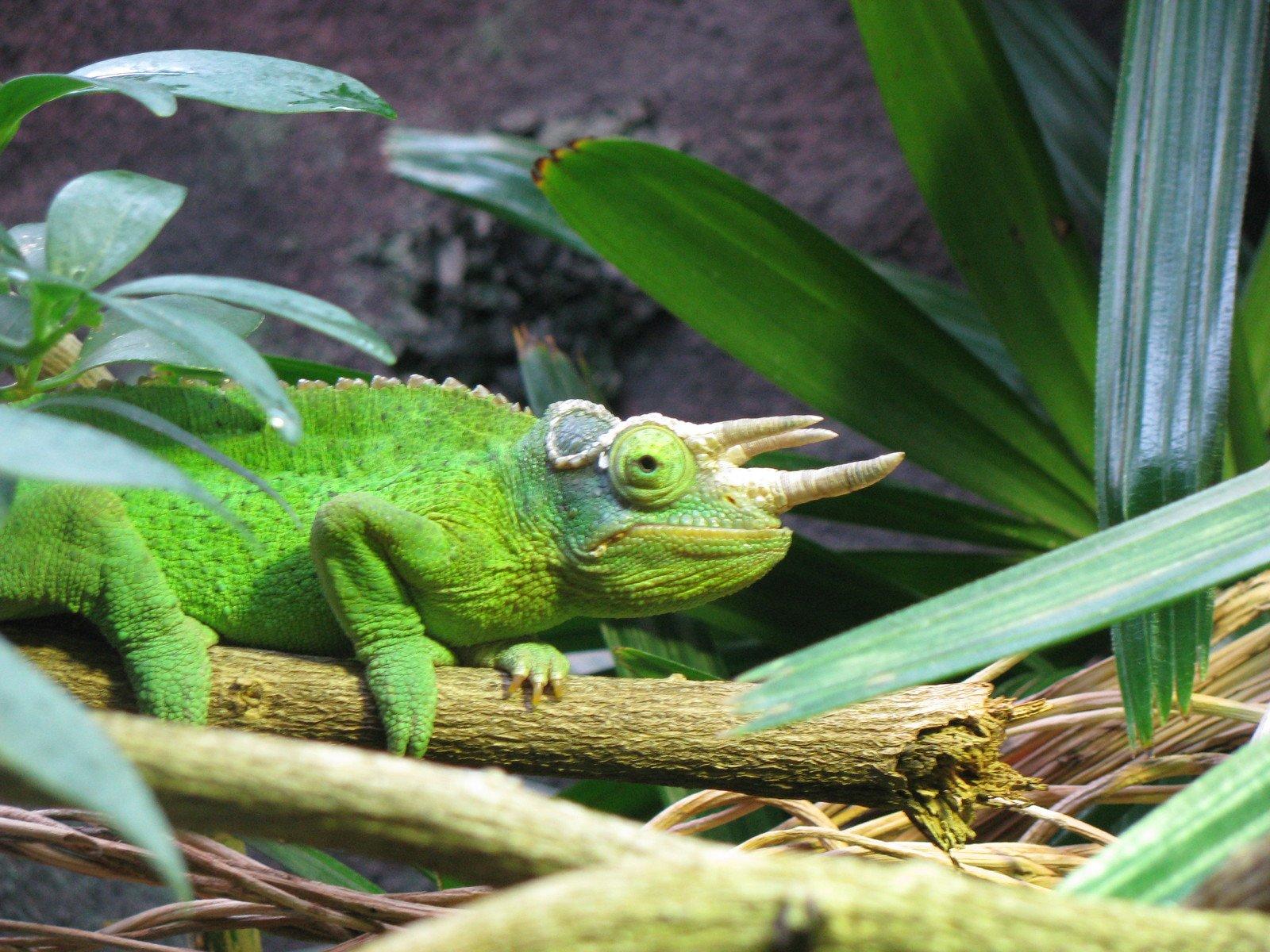 Where Do Chameleons Live