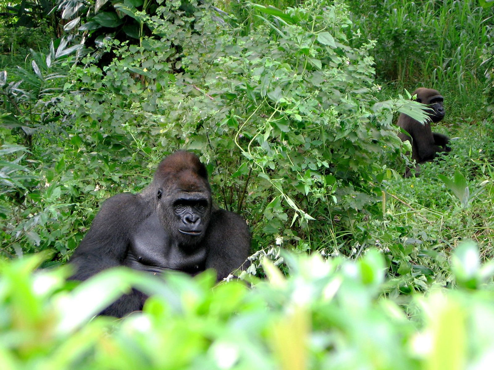 wild animals in africa  gorilla